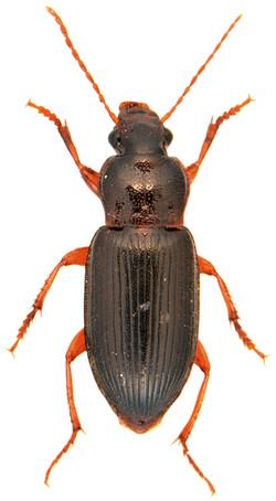 Ophonus puncticeps 2