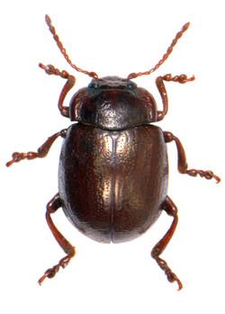 Chrysolina staphylaea