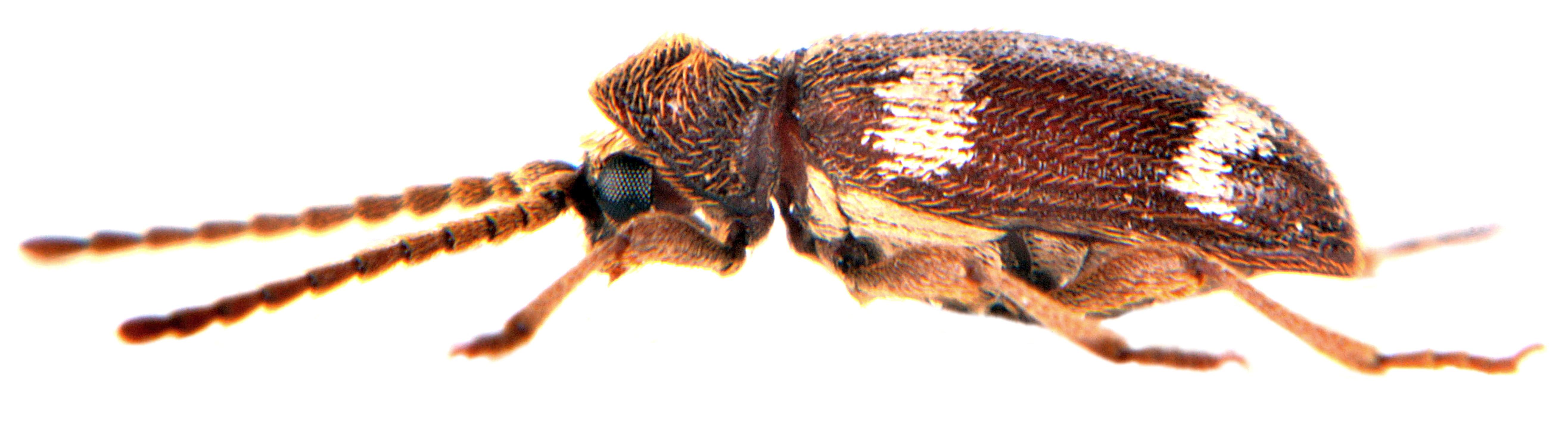 Ptinus sexpunctatus 4