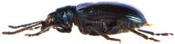 Lema cyanella 3