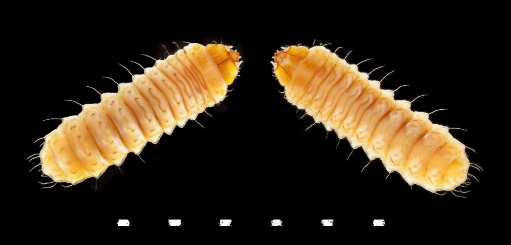 Zeugophora subspinosa larva