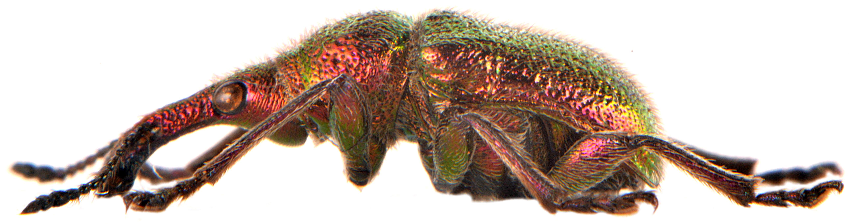 Rhynchites auratus 2