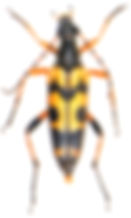 Rutpela maculata 2.jpg