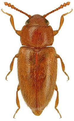 Cryptophilus propinquus 1