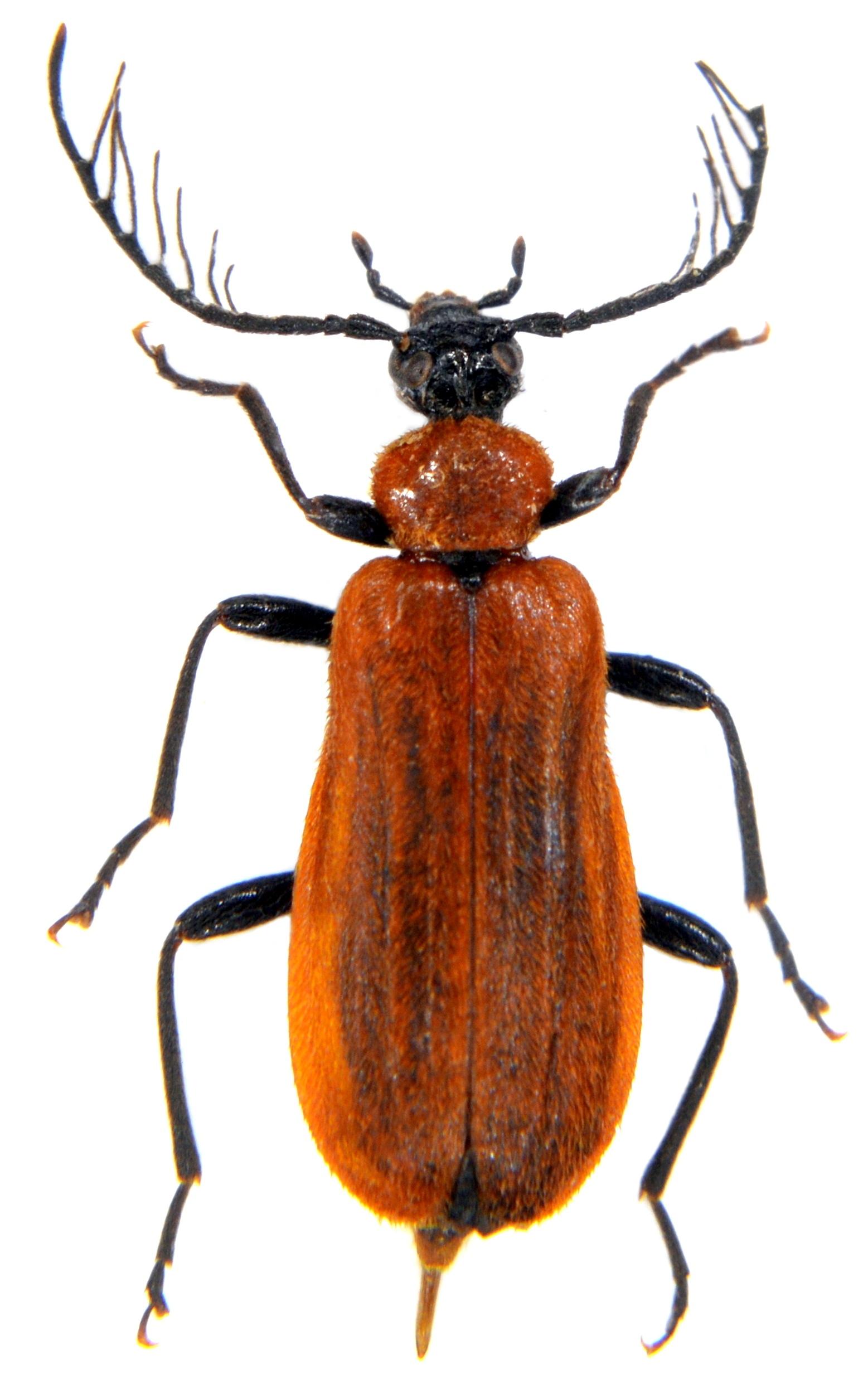 Schizotus pectinicornis