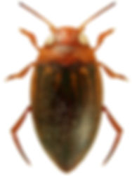 Porhydrus lineatus.jpg