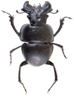 Lethrus rotundicollis