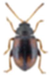 Epitrix atropae.jpg