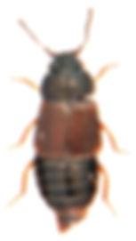Megarthrus prosseni 1.jpg