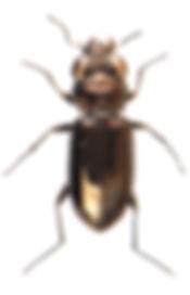 Notiophilus aesthuans 1.jpg