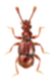Amauronyx maerkelii.jpg