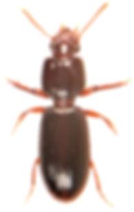Clivina collaris 1.jpg
