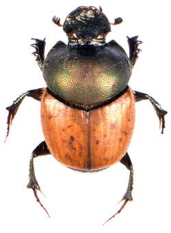 Onthophagus coenobita 1