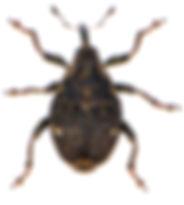 Nedyus quadrimaculatus 3.jpg