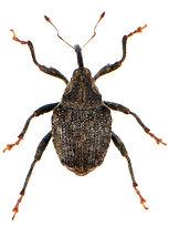 Parathelcus pollinarius 5.jpg