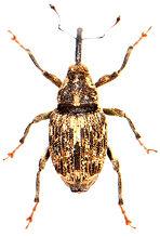 Datonychus melanostictus 1.jpg
