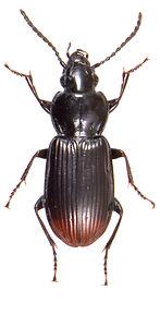 Pterostichus rhaeticus 3.jpg