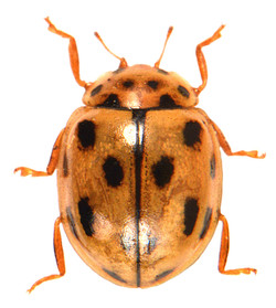 Propylea quatuordecimpunctata 4