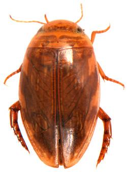 Laccophilus hyalinus