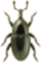Melanobaris laticollis.jpg