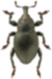 Liparus coronatus.jpg