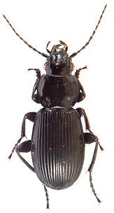 Pterostichus aethiops 1.jpg