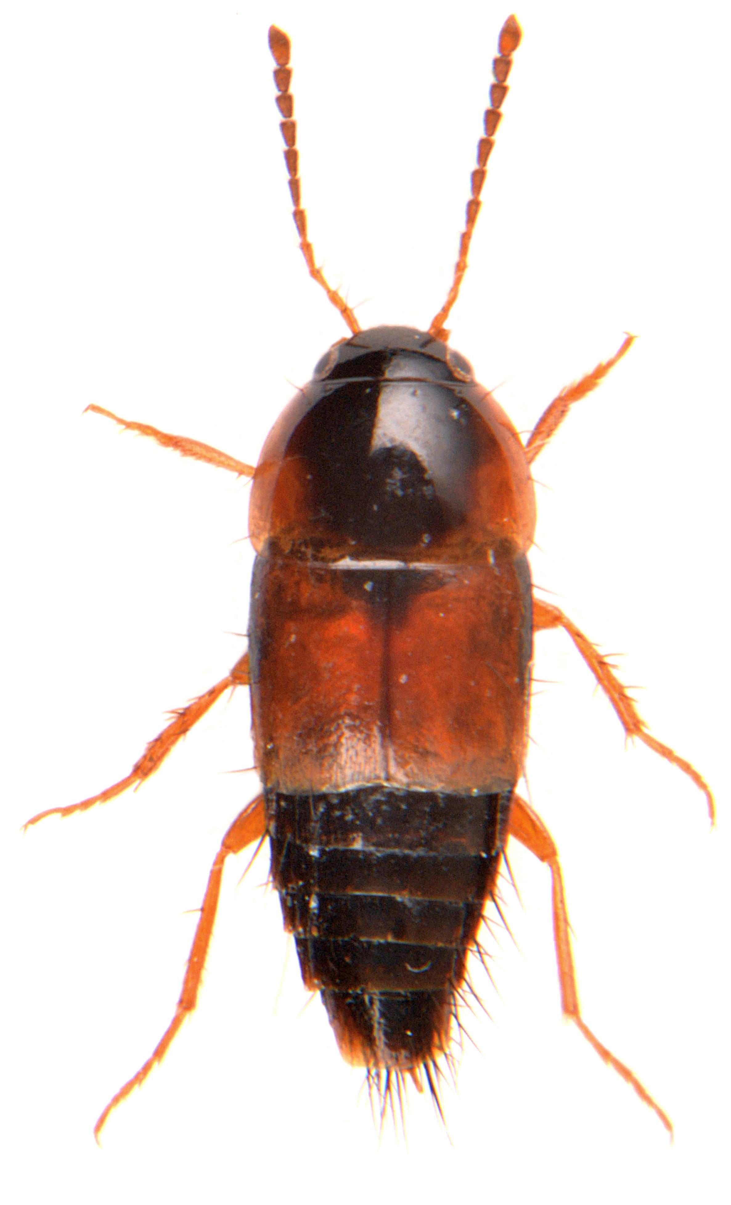 Tachyporus hypnorum 3