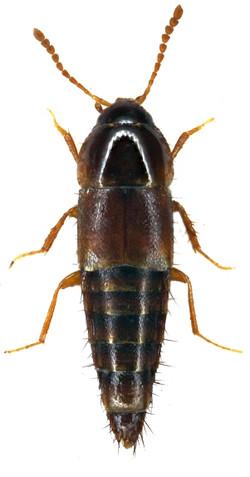 Tachyporus nitidulus 2