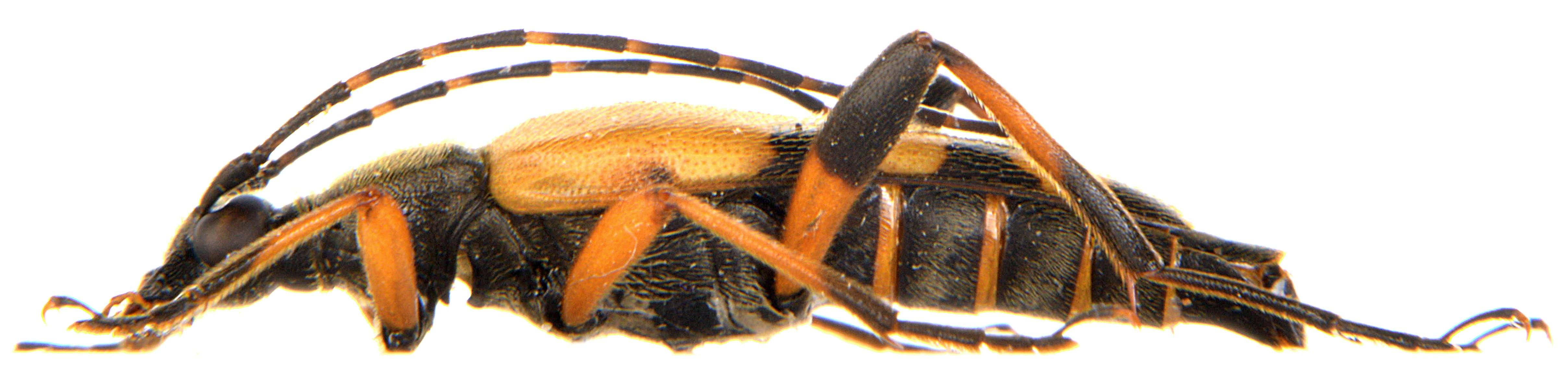Rutpela maculata ♂