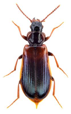Pytho depressus