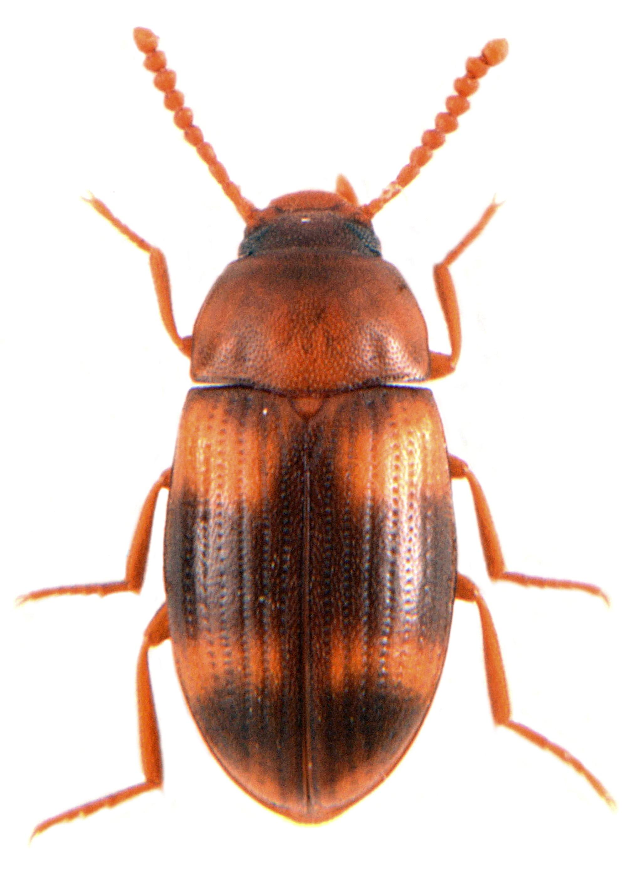 Alphitophagus bifasciata