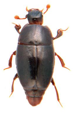 Paromalus flavicornis 1
