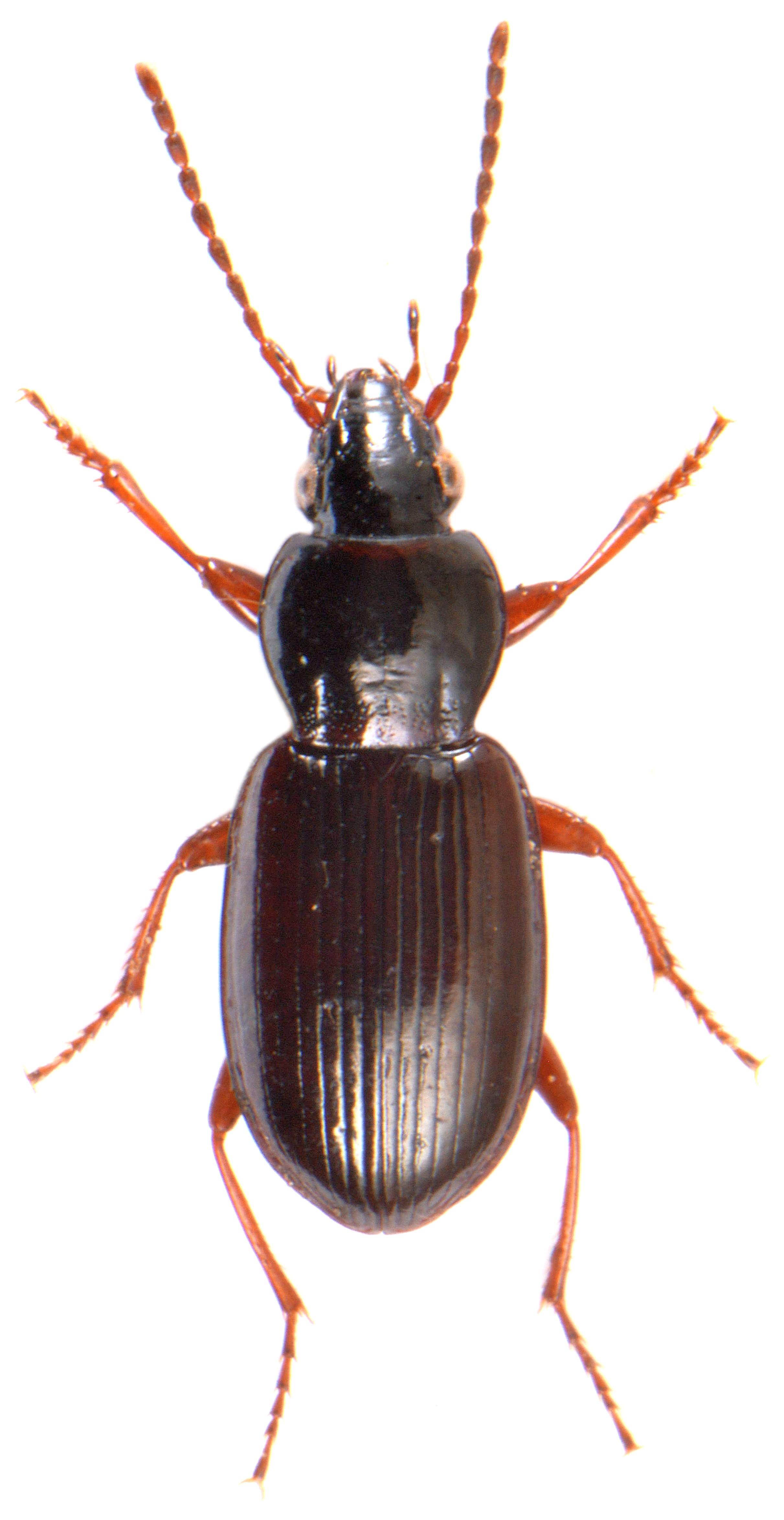 Pterostichus strenuus 2