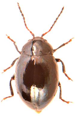 Hermaeophaga mercurialis 2