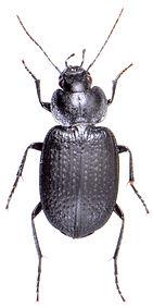 Licinus punctulatus 1.jpg