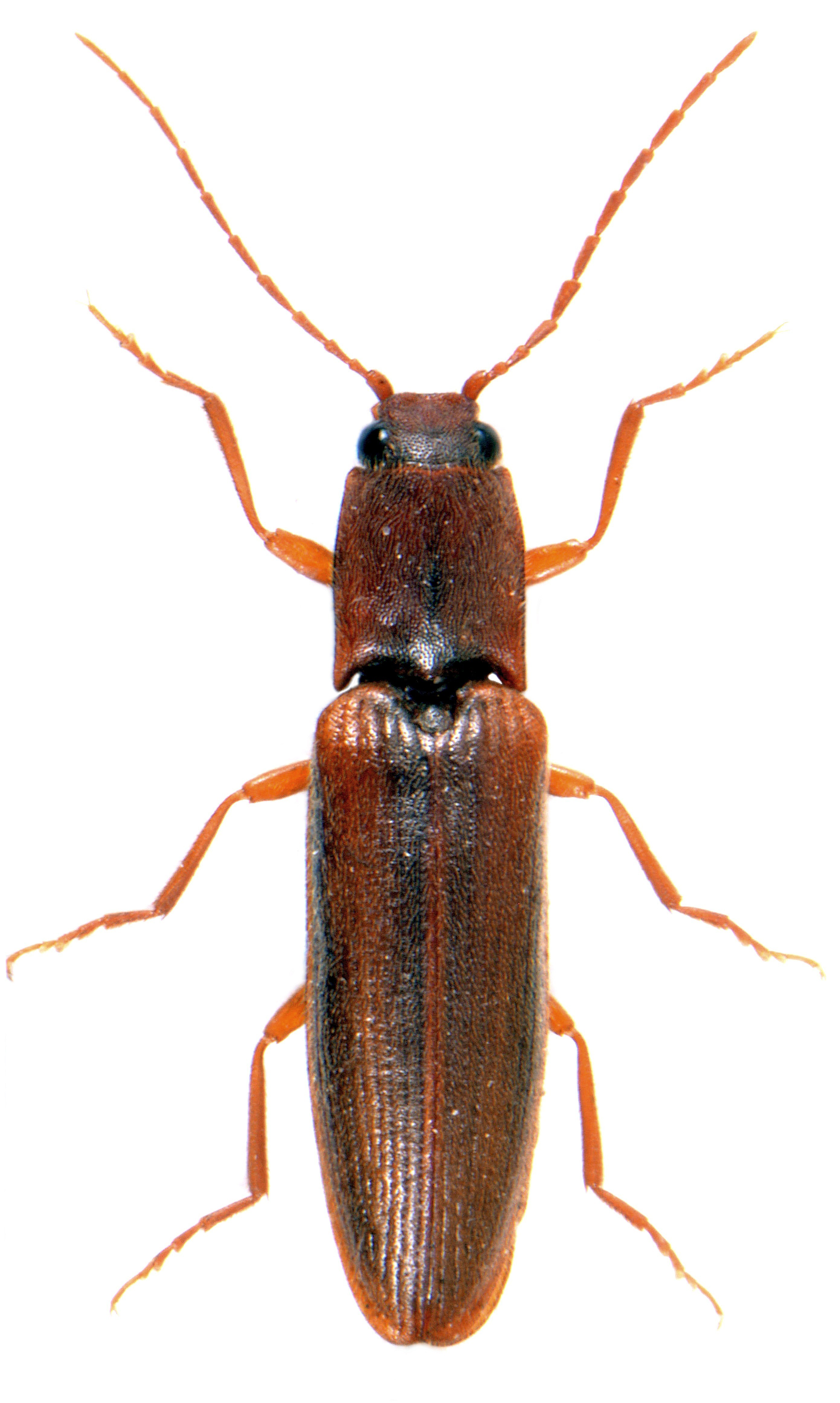 Athous campyloides 1