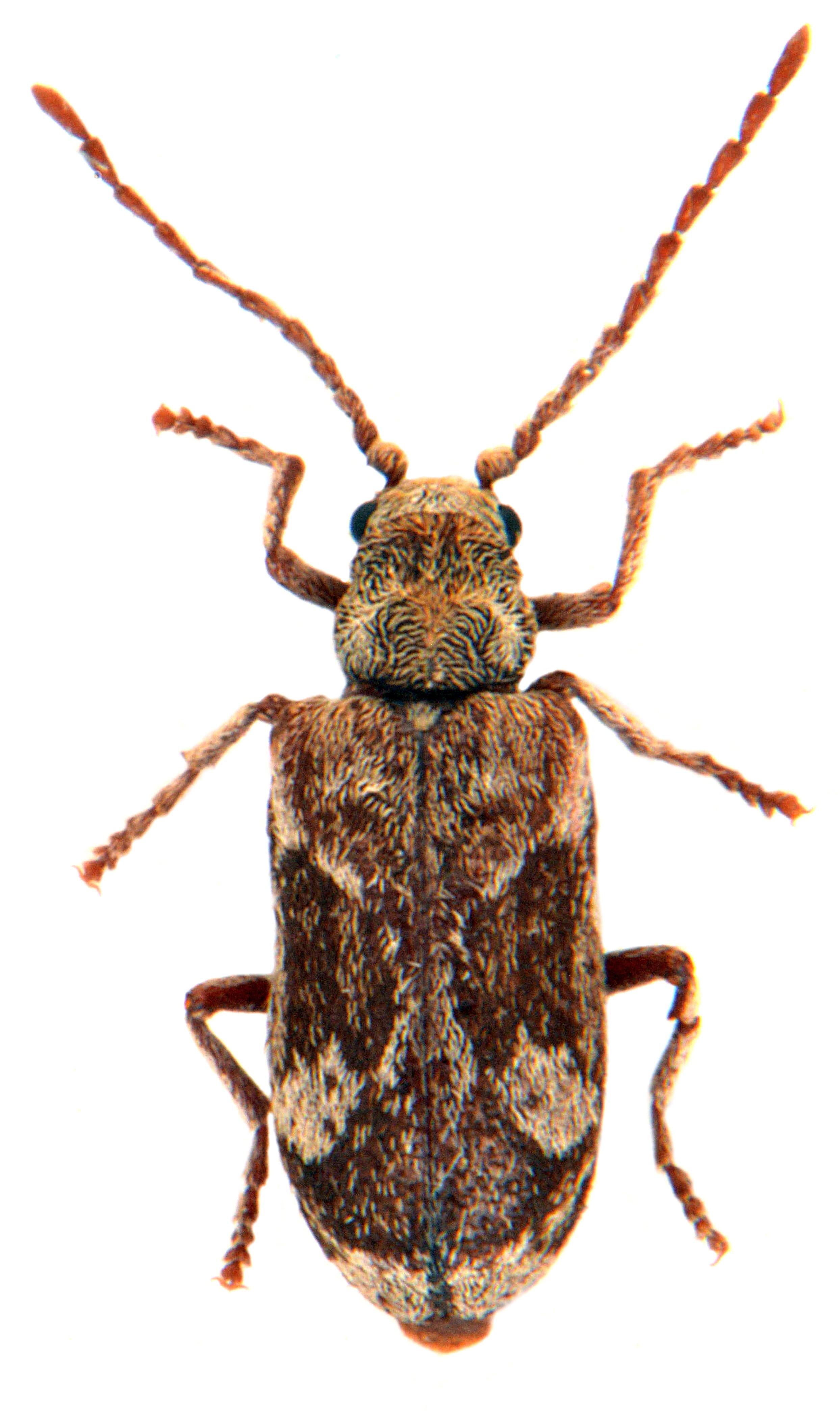 Ptinomorphus imperialis 1