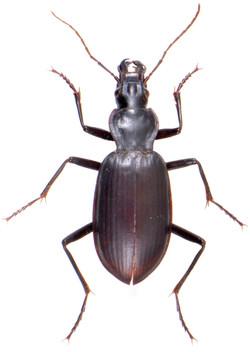 Sphodrus leucophthalmus