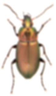 Poecilus cupreus 1.jpg