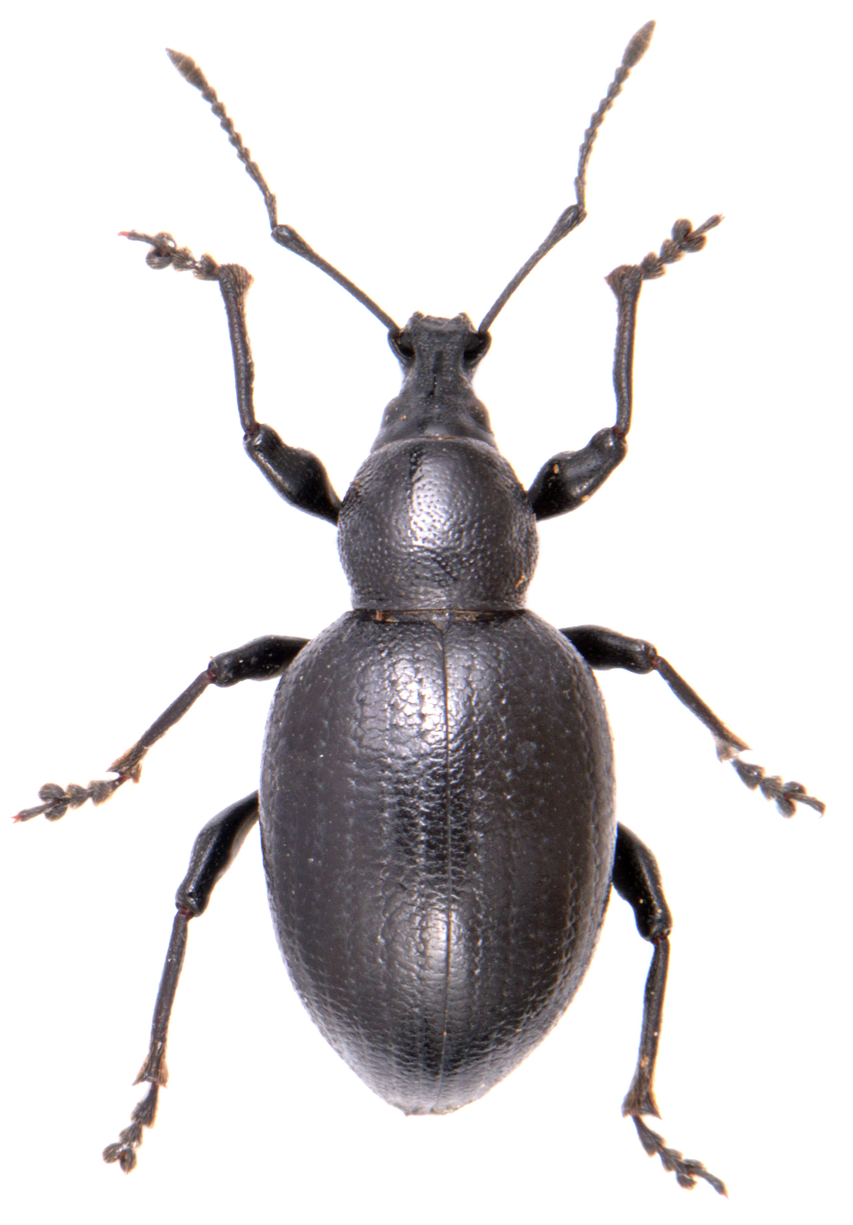 Otiorhynchus morio 1