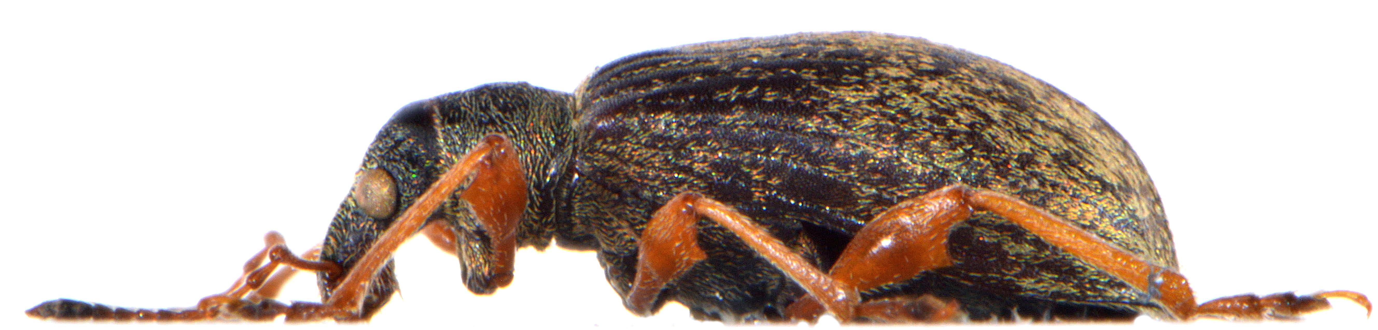 Phyllobius glaucus 4