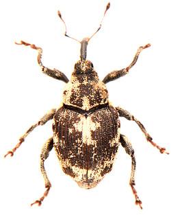 Hadroplontus litura 4