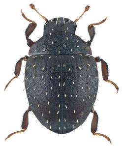 Chaetophora spinosa 1