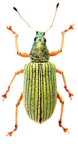 Polydrusus formosus
