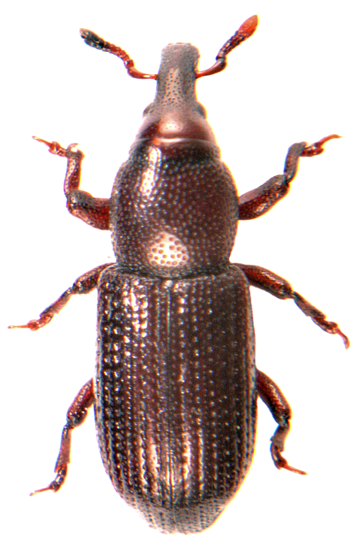 Phloeophagus lignarius