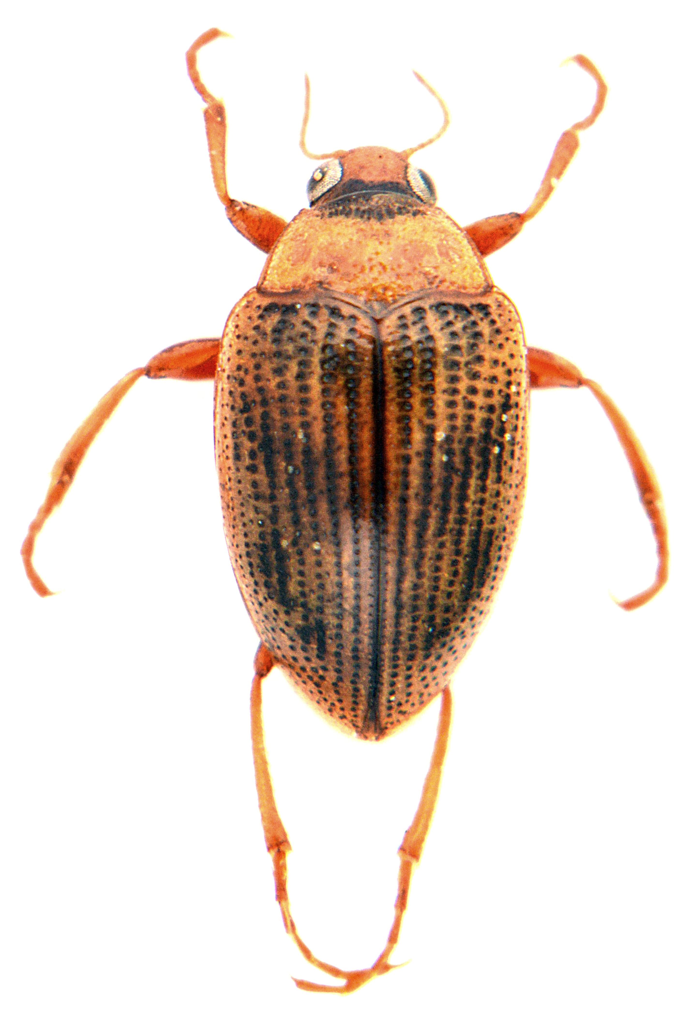 Haliplus laminatus 3