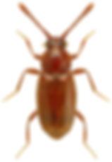 Eutheia plicata.jpg