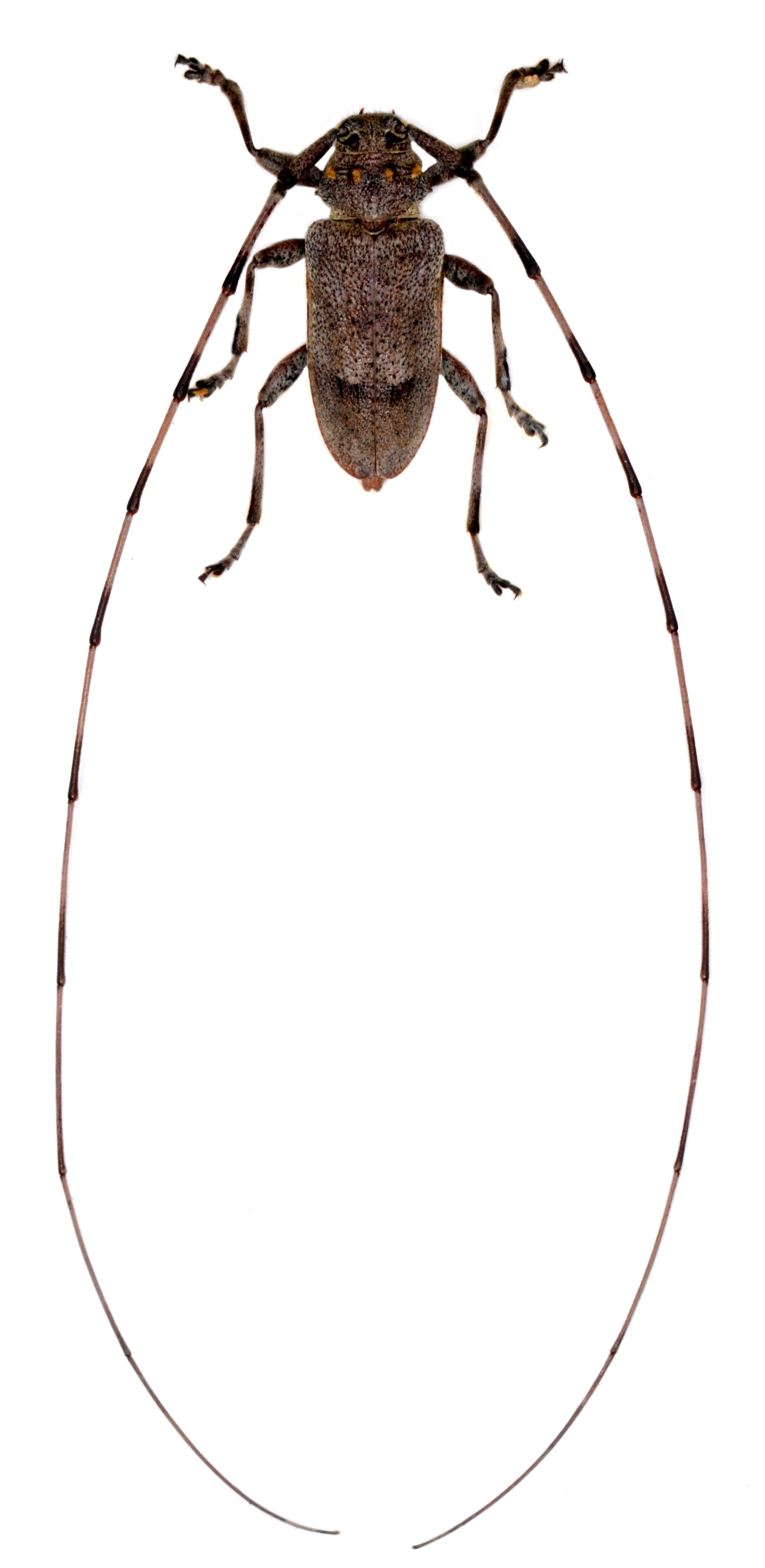Acanthocinus aedilis 1