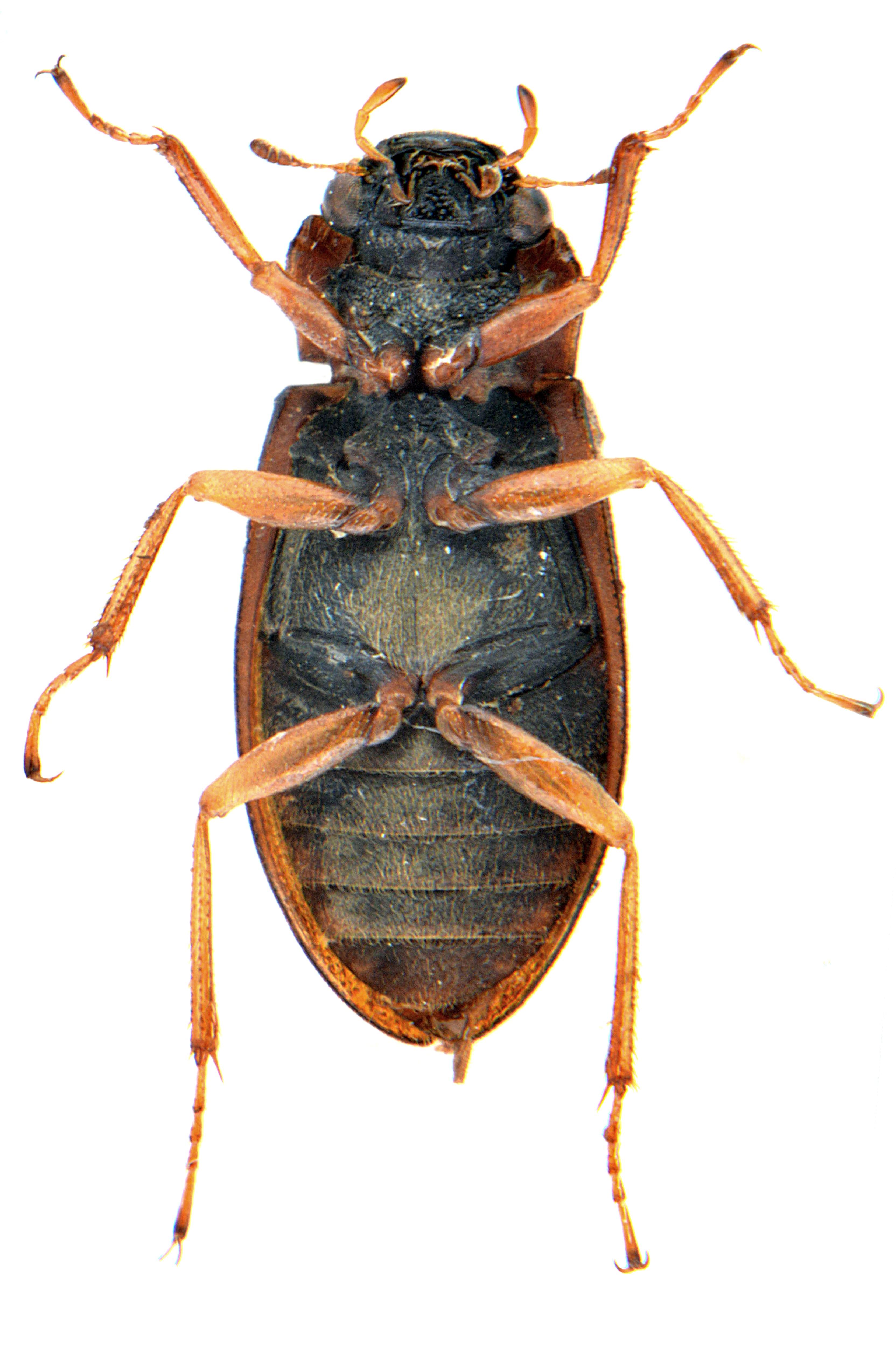 Helophorus aequalis 3