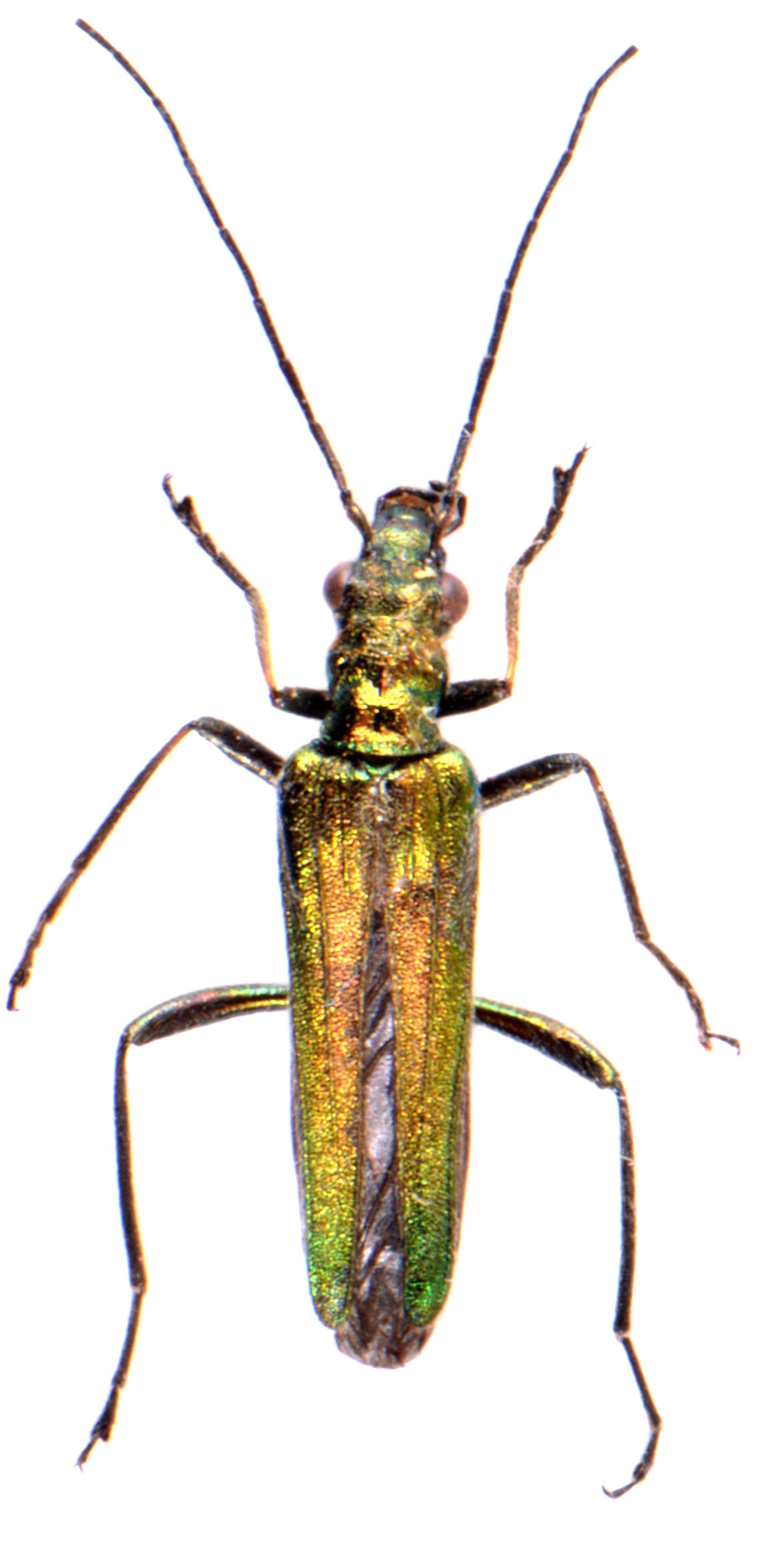 Oedemera nobilis ♀